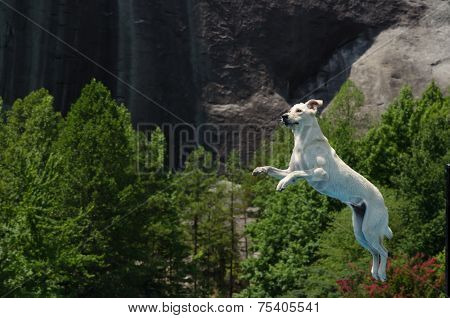 White Lab Caught In Mid Air