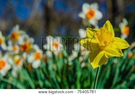 Yellow and White and Orange Daffodils