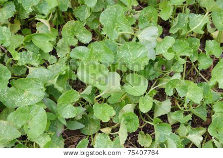 Asiatic Herb