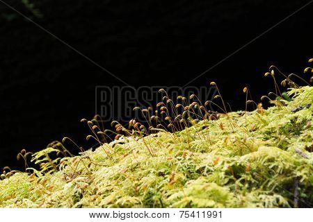 Soft Green Mossy Tree Trunk With Spores Silhouetted