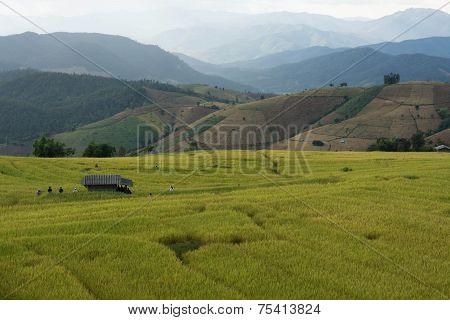 Baan Pa Bong Piang Rice Terraced Field Close Up, Chiangmai: Thailand