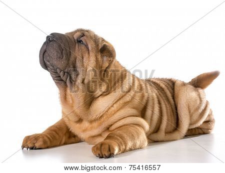 chinese shar pei puppy laying down looking up isolated on white background