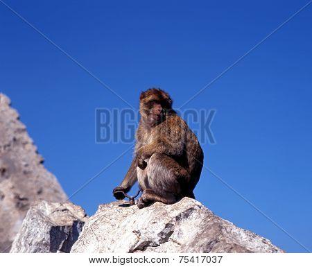 Barbery ape, Gibraltar.