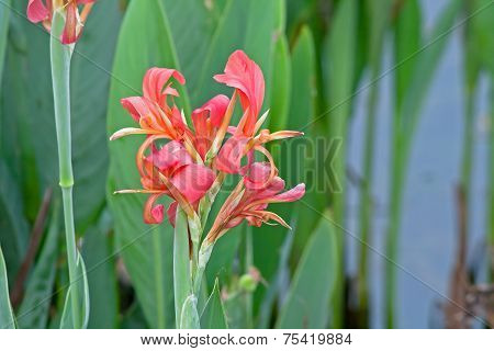 The Red Canna generalis
