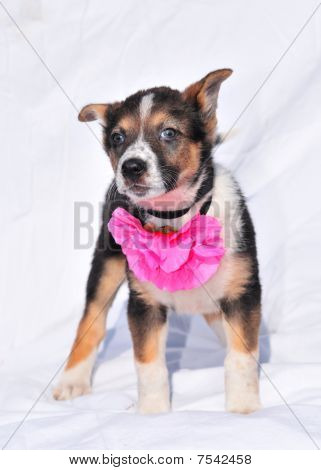 Brave Two Month Old Three Colour Puppy With Beautiful Rose Flower