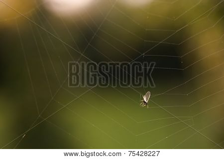 A Fly Caught In A Spider Web