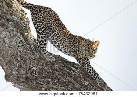 Leopard stretching