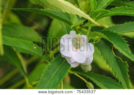 Impatiens Glandulifera flower