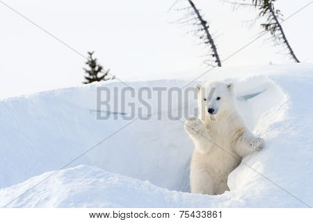 Polar bear (Ursus maritimus) cub coming out den