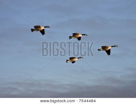 Canadian Geese Flock