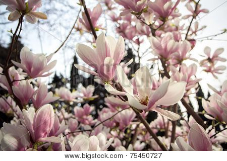 Blooming Magnolia Tree