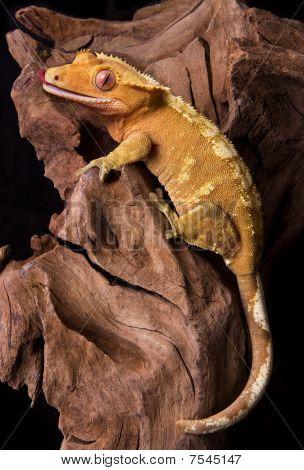 Crested Gecko On Petrified Wood