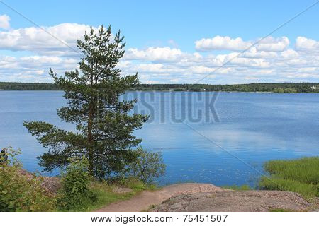 The nature of the Leningrad Region. The pine-tree.
