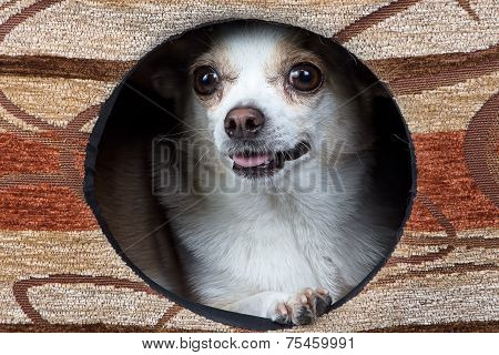 Image of puppy chihuahua in the kennel