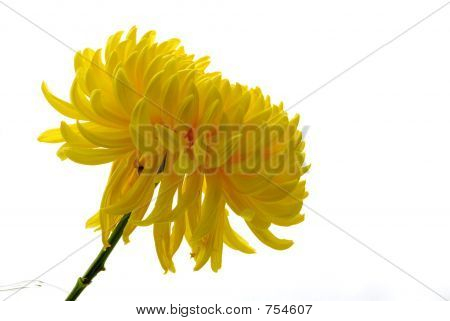 Yellow Chrysanthemem