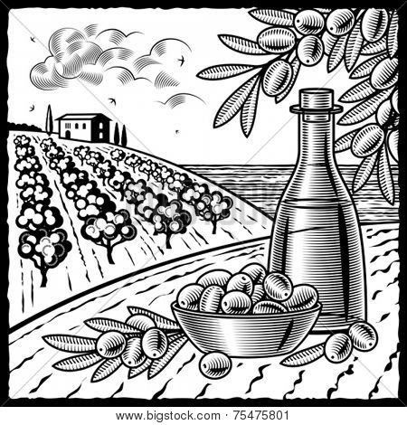 Olive harvest black and white. Vector