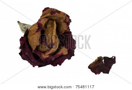 A Withered Rose And One Petal