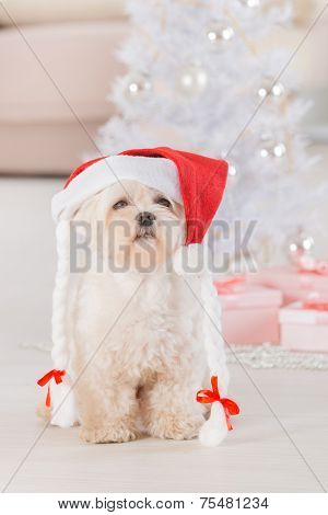 Cute little dog Maltese sitting with gifts near Christmas tree wearing Santa Claus hat