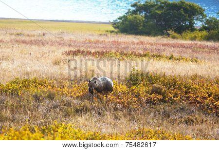 Grizzly bear in autumn season