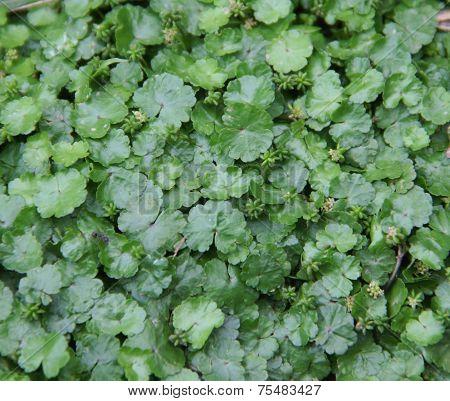 Asiatica, Centella Herbs Leaf
