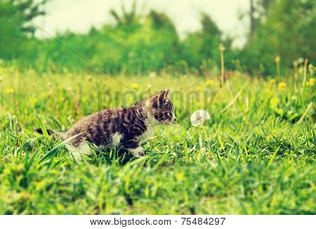 Curiosity Kitten In Summer