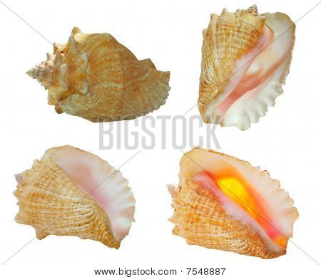Conch Shells In 4 Views