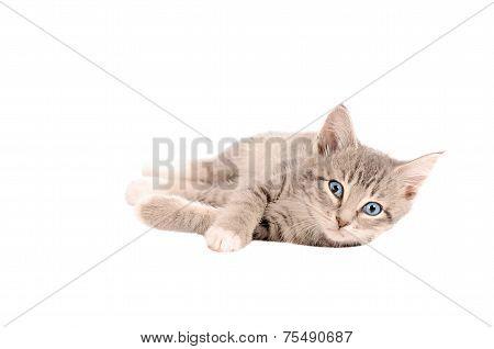 Laying Tabby Kitten