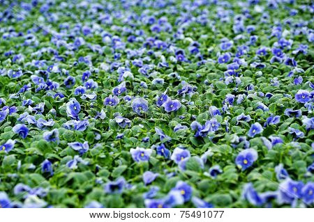 Field Of Colorful Blue Violets