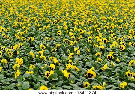 Yellow Violet Field