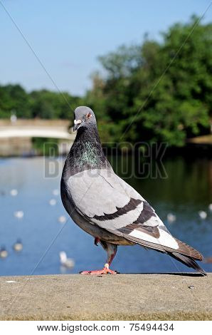 Pigeon standing on a wall.