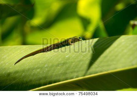 Lizard in backlight, La Reunion Island