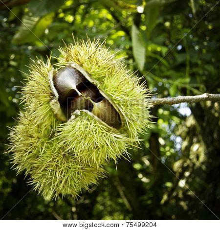 Chestnuts Inside Their Spiky Capsule