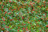 COTONEASTER Rosaceae poster