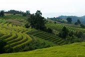 stock photo of bong  - Baan Pa Bong Piang rice terraced field close up Chiangmai: Thailand. ** Note: Soft Focus at 100%, best at smaller sizes - JPG