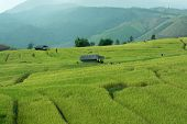 picture of bong  - Baan Pa Bong Piang rice terraced field close up Chiangmai - JPG