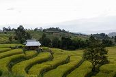 pic of bong  - Baan Pa Bong Piang rice terraced field close up Chiangmai - JPG