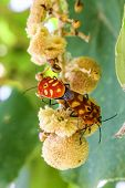 picture of coitus  - sex  of shield bug in the garden