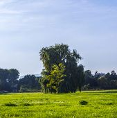 pic of weeping  - a large weeping willow against the blue sky - JPG
