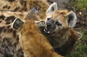 pic of hyenas  - The hyena bites the other hyena in his ear - JPG