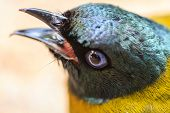 foto of bulbul  - close up Black-headed Bulbul Pycnonotus atriceps in nature