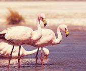 stock photo of eduardo avaroa  - flamingo in Bolivia - JPG
