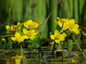 stock photo of boggy  - Marigolds Caltha palustris yellow flowers blooming in spring on a boggy meadow - JPG