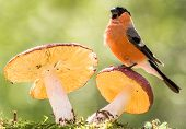 image of toadstools  - bullfinch is standing on a toadstool watching - JPG