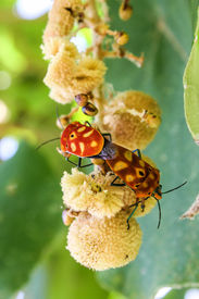 image of coitus  - sex  of shield bug in the garden  - JPG