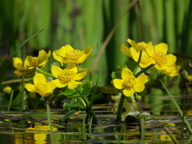 image of boggy  - Marigolds Caltha palustris yellow flowers blooming in spring on a boggy meadow - JPG