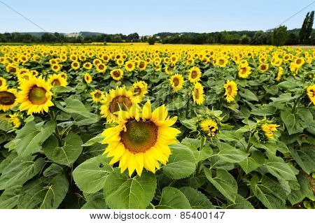 Large Happy Sunflower And Sunflower Oil Crop On A Sunny Day