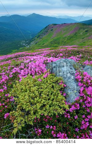 Summer landscape. Mountain flowers. Blooming rhododendron. Beauty in nature. Carpathians, Ukraine, Europe