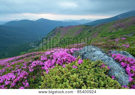 Blooming rhododendron. Mountain landscape. Summer flowers. Beauty in nature. Carpathians, Ukraine, Europe