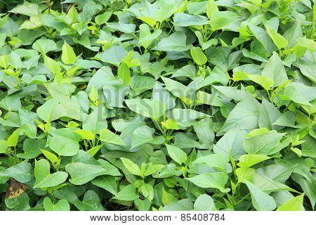 sweet potato plants at field