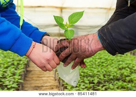 Man Hands Holding A Green Young Peper Plant In Greenhouse. Symbol Of Spring And Ecology Concept